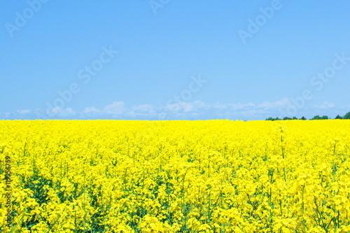 Fotobehang Geel 満開の菜の花畑
