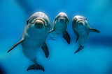 Fototapety three dolphins close up portrait underwater while looking at you