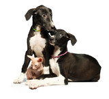 Two cute puppy greyhounds and kitten don sphynx on a white