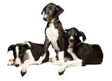 Three cute puppies greyhounds on a white