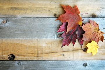 Autumn Sugar Maple Leaves Framing Rustic Wood Background