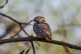 Spotted owlet perched and watching