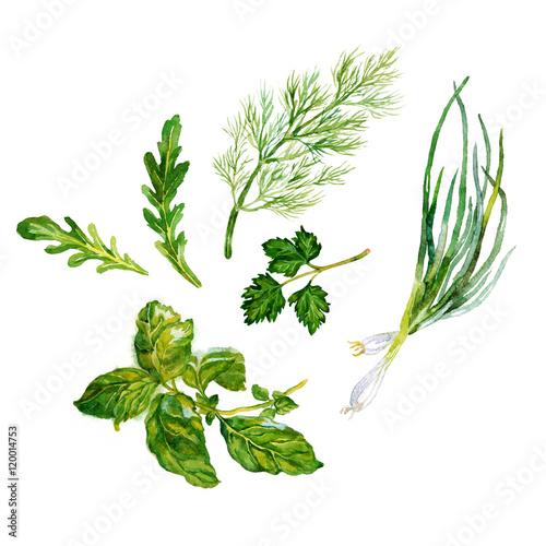 garden green herbs watercolor on the white bachground