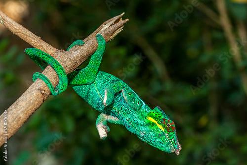 Fotobehang Kameleon Caméléon Panthère Caméléon Panthère mâle à l'île de la Réunion