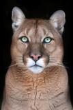 Puma portrait with beautiful eyes on black background
