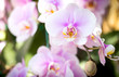 Purple phalaenopsis orchid flower