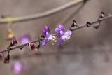 Fototapety Kleine violette Orchideen in der Caatinga in Brasilien