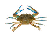 Blue crab isolated on white background - 120128775