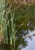 летом тихое озеро с тростником