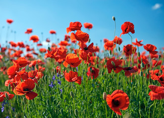 Poppy field flowers. Red poppies over blues sky background.