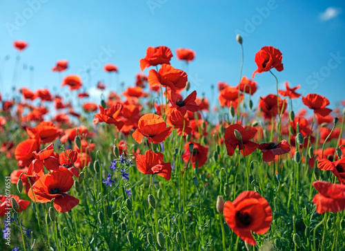 Fotobehang Klaprozen Poppy field flowers. Red poppies over blues sky background.