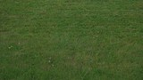 Female Mowing Lawn in Suburbs.