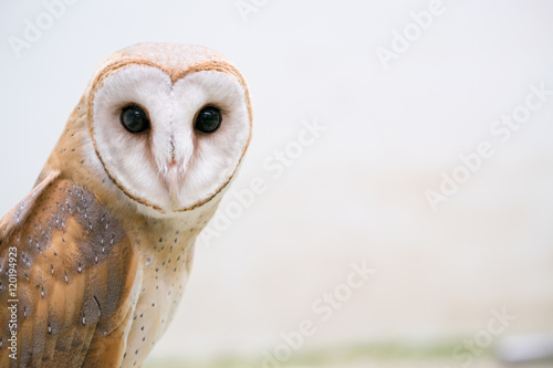 common barn owl - 120194923