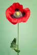 One vibrant red poppy flower on a trendy background