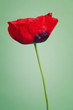 Bright poppy flower on a summers day color background
