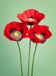 Beautiful red poppy flowers on a green background