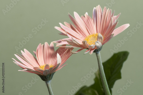 Camomille flowers Poster