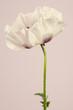 Big white  poppy flower