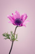 Purple ranunculus flower on a pink background