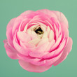 Beautiful pink ranunculus flower
