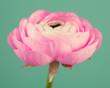 Prety  pink ranunculus flower