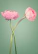 Two beautiful pink ranunculus flowers