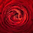 Close up of vivid red ranunculus flower