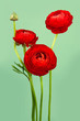 Arrangement of lovely red ranunculus flowers
