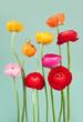 Arrangement of colorful ranunculus flowers