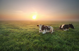 relaxed cows on pasture at sunrise