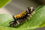 Milkweed tussock moth caterpillar (Lymantriidae)