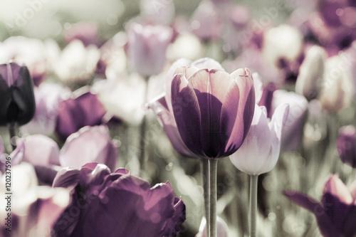 Poster tulpen gefärbt