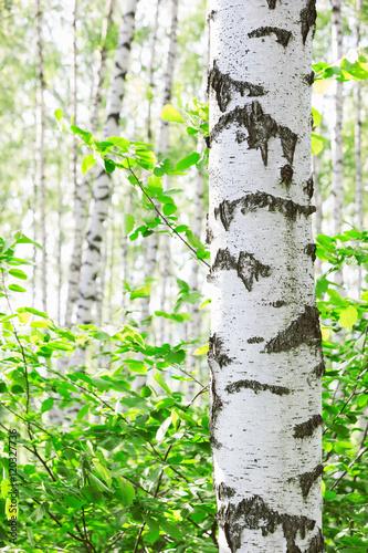 summer in birch forest - 120327736