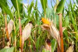 Maiskolben an einem grünem Maisfeld - 120352913