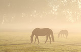horses grazing on misty pasture