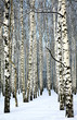 Snow covered trunks of birch trees in sunny weather