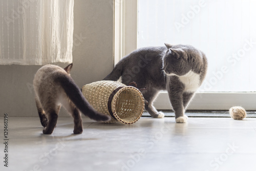 Juliste Siamese cat and shorthair cat
