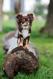 brown chihuahua dog posing outdoors
