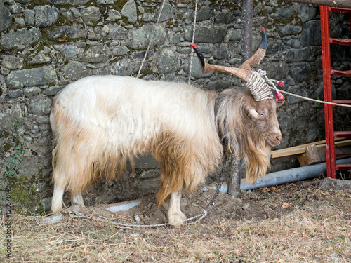 Poster Hairy goat with horns