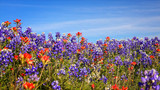 Field of Texas Spring Wildflowers - bluebonnets and indian paint - 120616191
