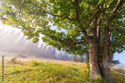 Poster Landschappen Oak tree in full leaf in summer standing alone.