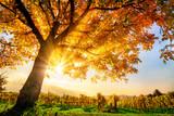 Fototapety Schöner Baum auf Weingarten im Herbst, mit Sonne und blauem Himmel