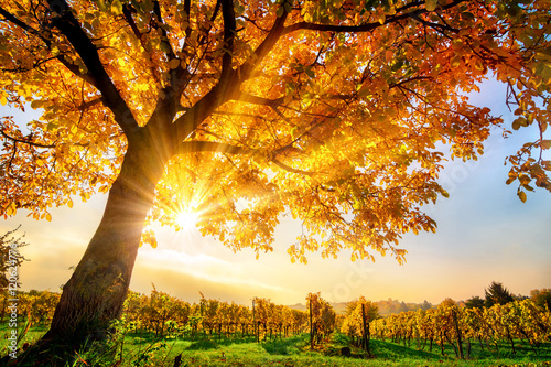 Schöner Baum auf Weingarten im Herbst, mit Sonne und blauem Himmel Poster