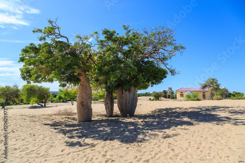 Fotobehang Baobab Baobab trees in an African landscape with clear blue sky in a vi