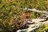 Dettaglio foglie di mirtilli in autunno
