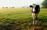 Herd of cows grazing on a farmland in Devon, England - 120669556