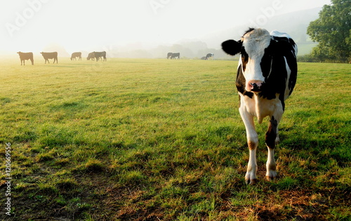 Foto op Canvas Pistache Herd of cows grazing on a farmland in Devon, England
