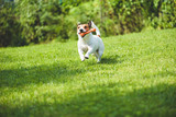 Dog running on green grass fetching toy bone