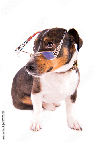 Jack Russell Terrier with glasses on a white background Poster