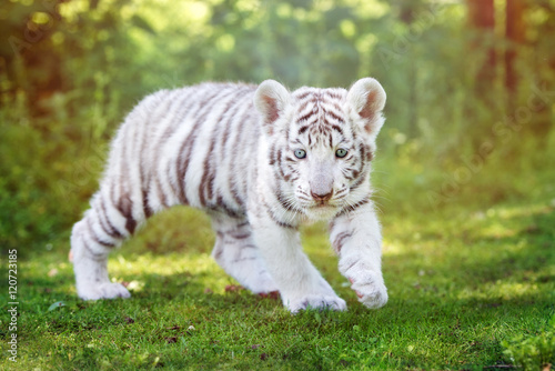 Fotobehang Tijger white tiger cub walking outdoors